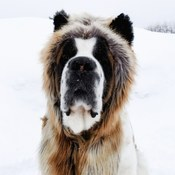 my Saint Bernard Avalanche wearing my spirithood ☺
