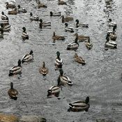 A crowd of mallards