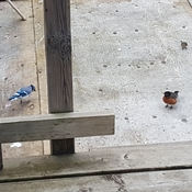 Breakfast with a Blue Jay, Robin, and a little Sparrow.