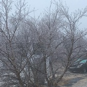Ice on trees when I woke up this morning
