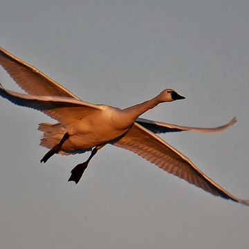 Tundra Swan four wings