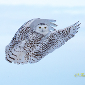 Snowy Owl still around