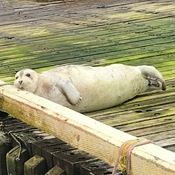 Seal sunbathing