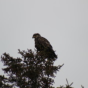 Is this a Golden Eagle?