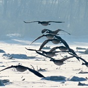 Still lots of ice on the Bow River, so the Canada Geese move around a lot