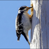 Small woodpecker, Elliot Lake.