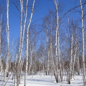 Beautiful Birches