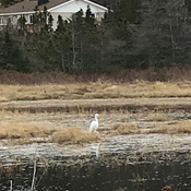 Heron spotted in Betty's Pond Lewins Cove