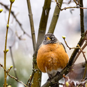 Robin not impressed with snow