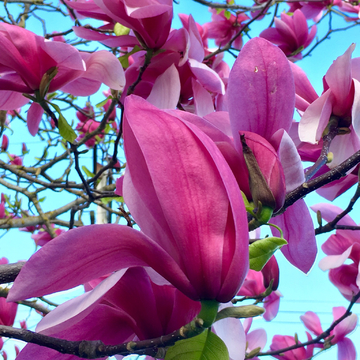 Magnificent Magnolia in bloom .