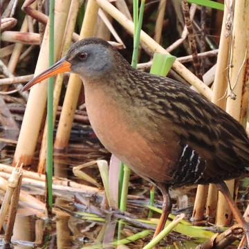Virginia Rail steps into spring