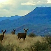 Three Mule Deer watching me hike.