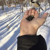 Feeding chickadee ....awesome
