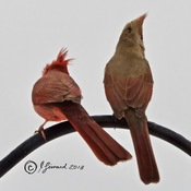 Mr & Ms Cardinal In The Wind