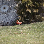 TRUE Signs of Spring Cardinal wanting the Bird Bath Operational