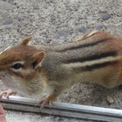 Chipmunk being hand fed -- it loves peanuts, of course.