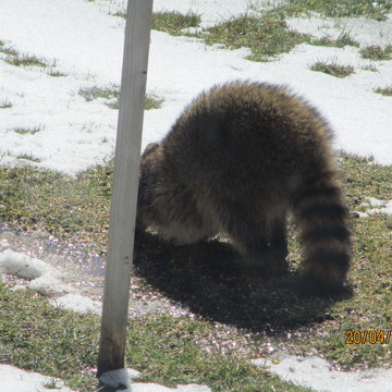 Raccoon in the afternoon