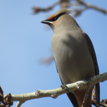 Up close of a Waxwing