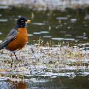 American Robin enjoying the rain and the puddles