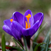 Crocuses(i?) are finally appearing in Ottawa