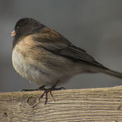 Juncos are back