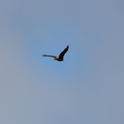 Bald Eagle Flying Over Our Heads Today