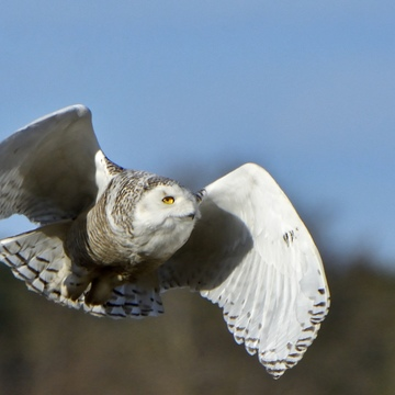 Snowy in flight