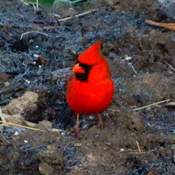 Colourfull Cardinal