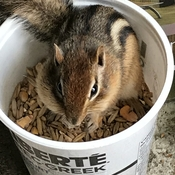 Hungry chipmunk