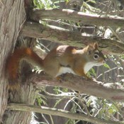 Cute red squirrel at Bleasdell Boulder near Batawa Ontario