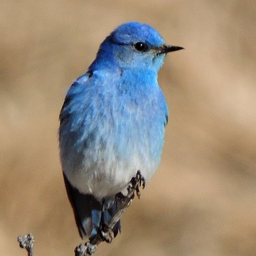 Mountaun Bluebird