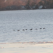 Geese on, over and in the Ottawa River