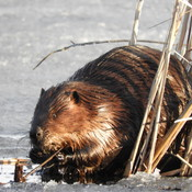 Mr Beaver enjoying a little bite
