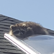 little racoon enjoys sun