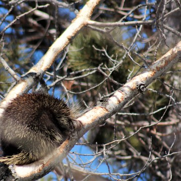 Sleeping porcupine.