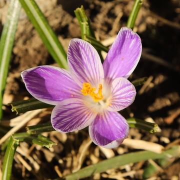 Sun loving Crocus
