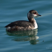 Female Horned Grebe
