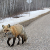Fox on the Road