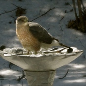 Wading in the Bird Bath