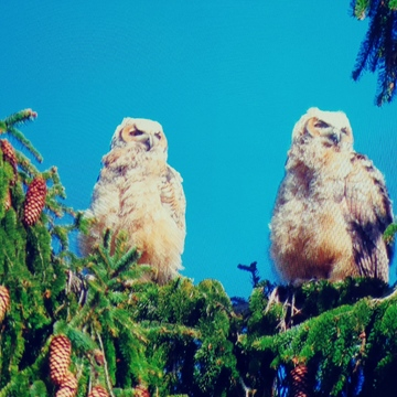 Baby Great Horn owlets