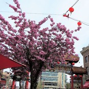 Beautiful Blossoms - China Town
