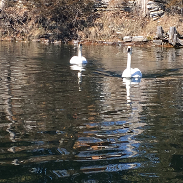 Swans coming in for a visit