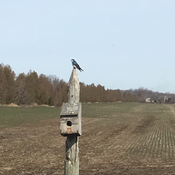 Swallows have returned to southern Ontario.