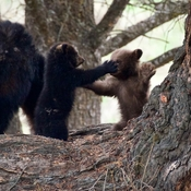 Black bear mother and two cubs