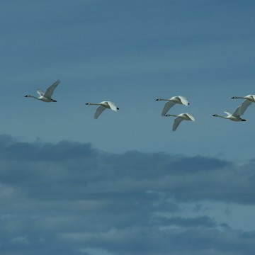 Swans passing through