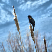Red winged black bird.