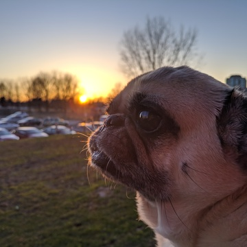 My lil pug with the sunset in the background