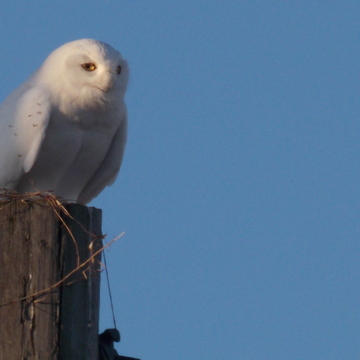 Male Snowy White Owl