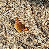 Painted Lady Butterfly :)