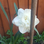 lovely dafodil in my garden